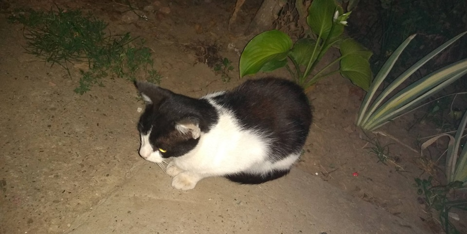 Tvrdih crnih maca