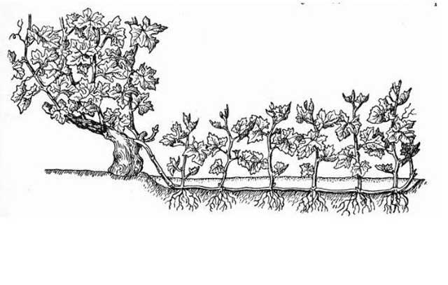 Виноград девичий в квартире на балконе - декоративный сорт