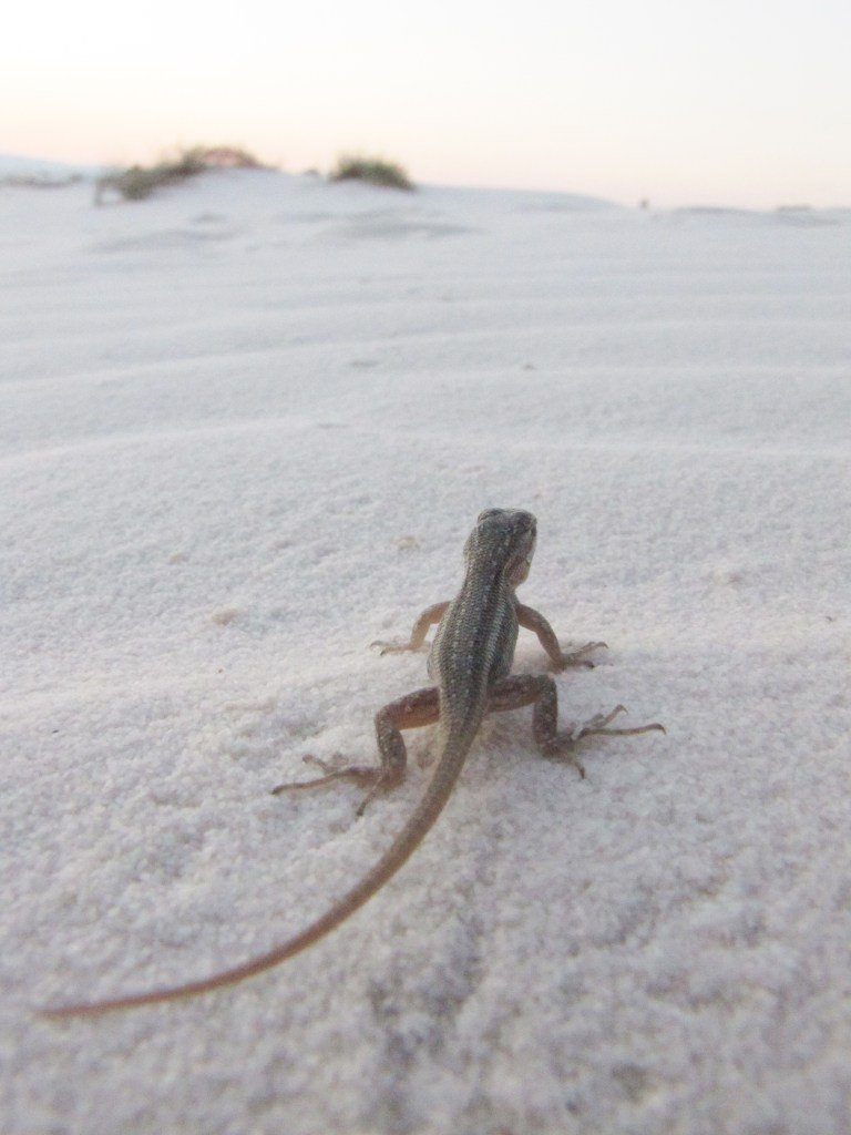 lizard in White Dunes National monument