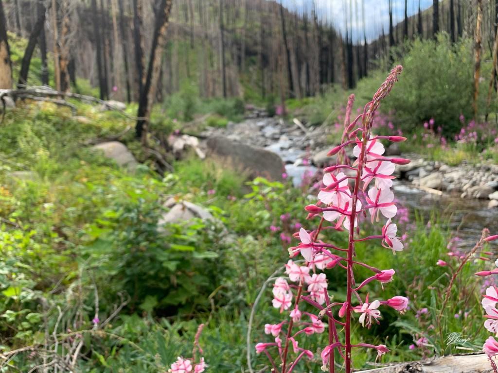 fireweed rainbow hot spring weminuche wilderness