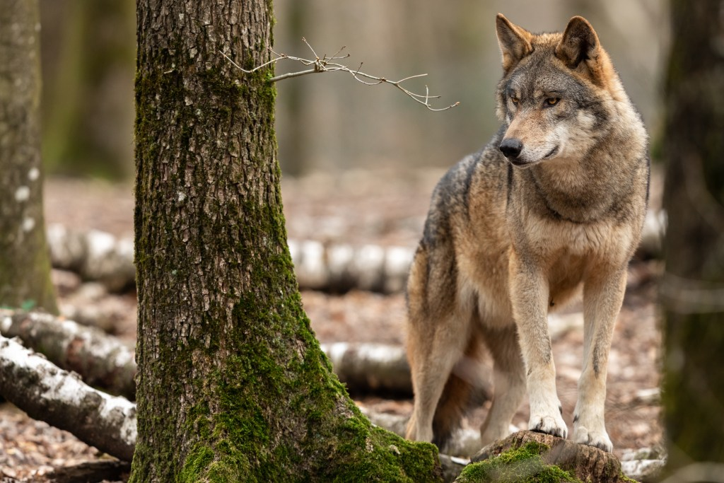 wolf reintroduction colorado forest