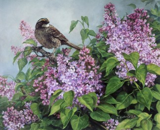 """White-throated Sparrow 12""""X 16"""" Acrylic on WC Paper SOLD"""