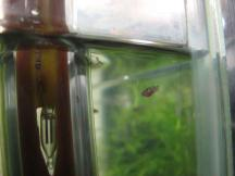 Limia sp Tiger fry