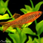 Danio Fire Ring Male