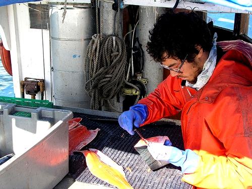 Jonah Knutsen of Loki Fish filleting salmon for market. Photo courtesy Loki Fish.