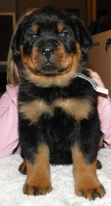German Rottweiler Puppies For Sale In Ohio : german, rottweiler, puppies, Ballardhaus, Rottweilers, Rottweiler, Breeders, Puppies, German, Imported