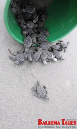 9-Release-of-the-turtles-at-Playa-Tortuga-by-Nikki-Whelan