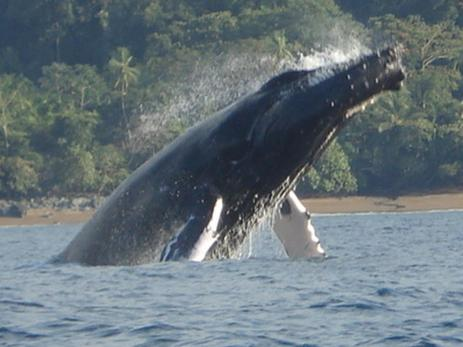 humback-whale-south-pacific-costa-rica