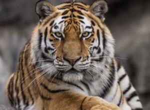 Tiger attacks zookeeper