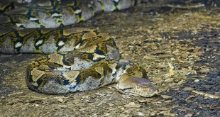 Python Wrapped Around Woman's Neck