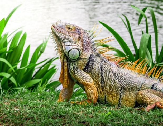 Falling Iguana