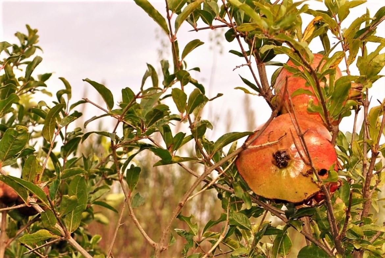 Die unbekannte Seite des Granatapfels