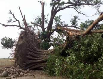 बिल्थरारोड-सिकंदरपुर में आंधी-पानी में सैकड़ों पेड़ धराशायी, कई जख्मी