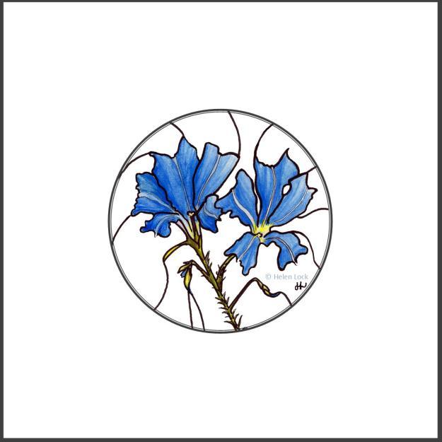 Blue Leschenaultia at Balligar