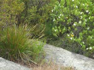 Sticky Tailflower Bush, Albany, WA