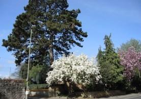 tree in full bloom, St Cross Road