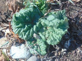 Rhubarb 1 - just since it's tentative start on 03/19