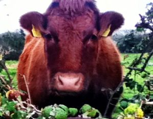 farms in ballyyahoo. Image of a staring cow