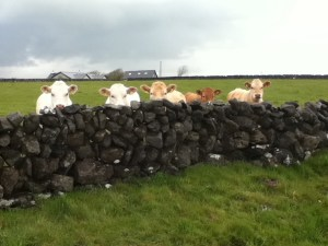 calves-behind-wall