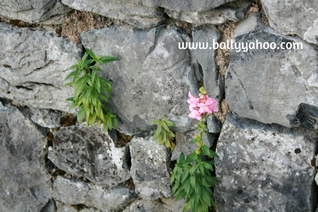 flowers growing out of a stone wall illustrating a free children's story about the donkeys of Ballyyahoo - Ireland's magical town