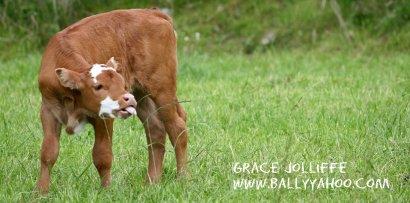 calf-sticks-tongue-out