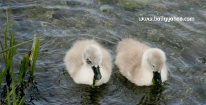two baby swans illustrating children's nature story page about wild swans