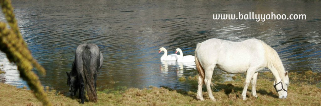 swans and horses at river illustrating an article about wild Irish Swans