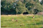 wild Irish hares