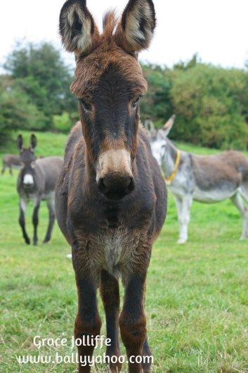 Donkeys illustrating children's stories from Ballyyahoo in Ireland