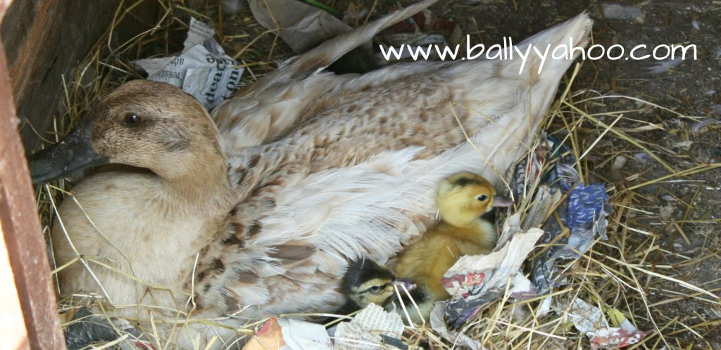 ducklings nestling beside their mother - illustrating a nature story for children about ducks