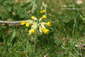 cowslip in grass on a page about nature and stories for children