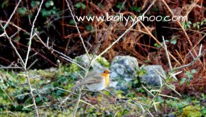 Robin in hedgerow