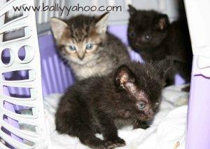 beautiful kittens in basket illustrating kitten stories from Ireland's Ballyyahoo