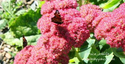 red butterflies on sedum plant illustrating a post about the butterfly