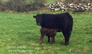 black cow and a calf illustrating a page with funny stories for kids