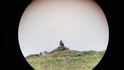 Local wildlife - golden eagle