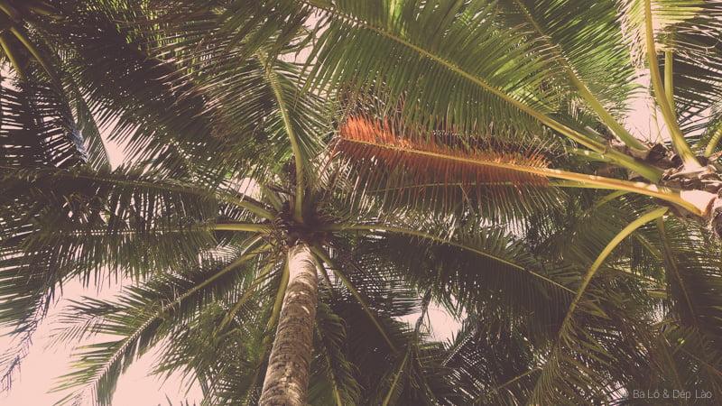 Hàng dừa trên biển