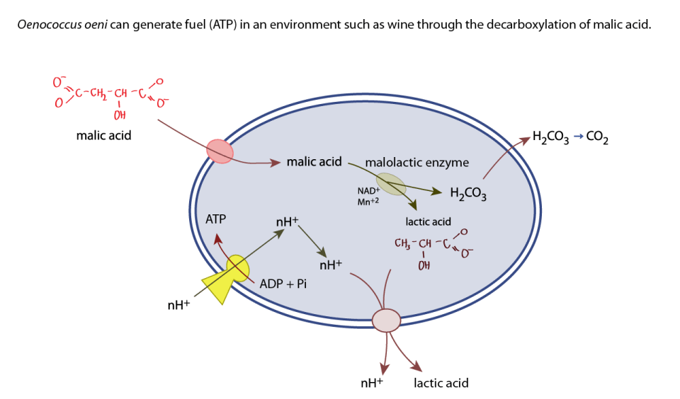 how malolactic fermentation produces ATP in O. oeni