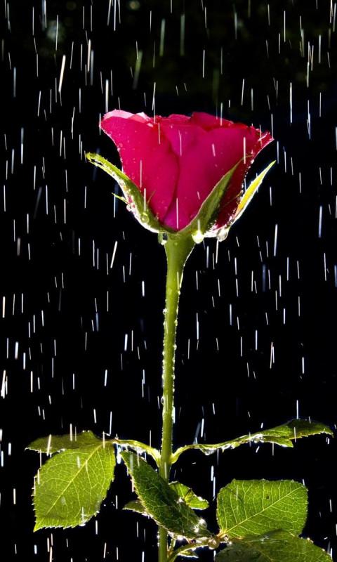 Animated Rose Wallpaper : animated, wallpaper, Animated, Wallpaper, 07547, Baltana