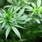 В Пылвамаа полиция обнаружила посреди леса плантацию конопли