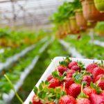 Иностранным сезонным работникам разрешат остаться в ЭР