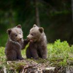Мило, но опасно: на дороге в Айнажской волости Латвии гуляют два медвежонка (+ФОТО)