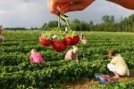 Латвийские крестьяне составили список хозяйств, где можно самим собрать урожай