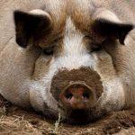 Африканская чума свиней впервые констатирована в Дурбской и Юркалнской волостях