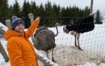 Живущим в Эстонии страусам холод нипочем