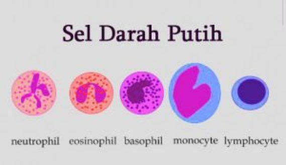 gambar sel darah pitih pada sistem peredaran darah manusia