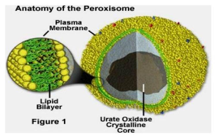 struktur Peroksisom pada sel tumbuhan