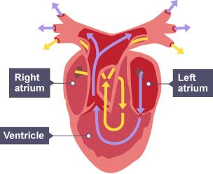3 chambered heart diagram honeywell lyric t5 wiring bbc bitesize - higher biology maintaining metabolism revision