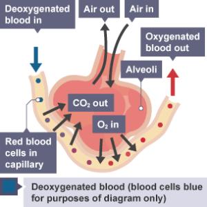 BBC Bitesize  GCSE Biology (Wales  2016 onwards)  Cells