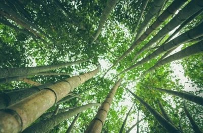 foret de bambou moso